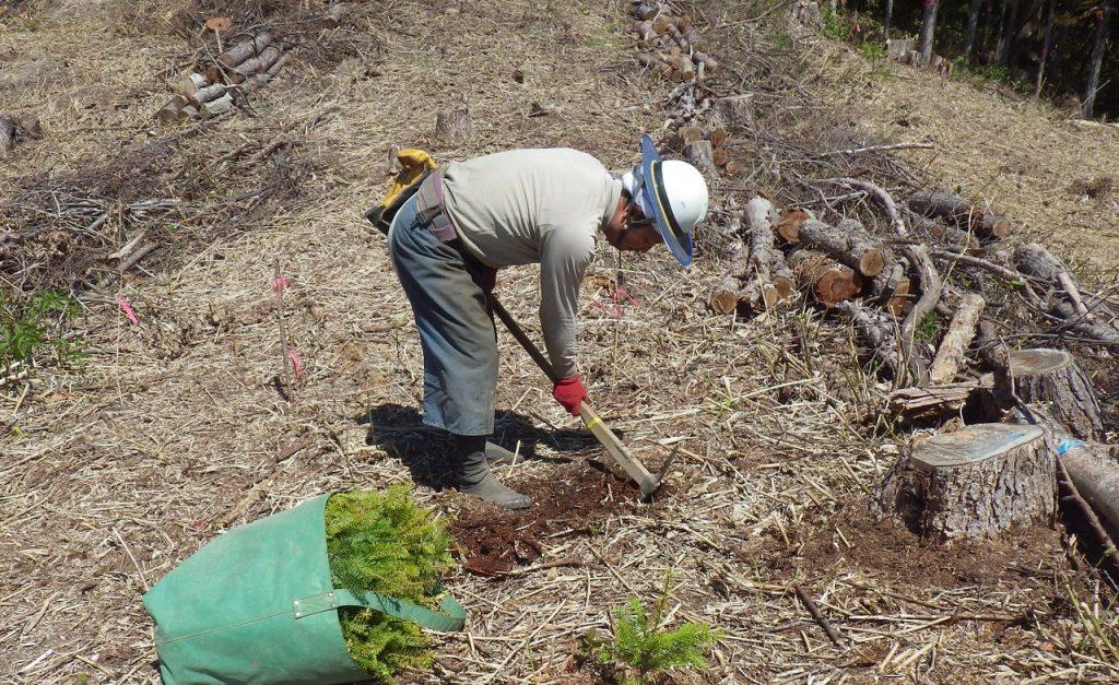 植え付け作業では、ヘクタール約2000本植えます。