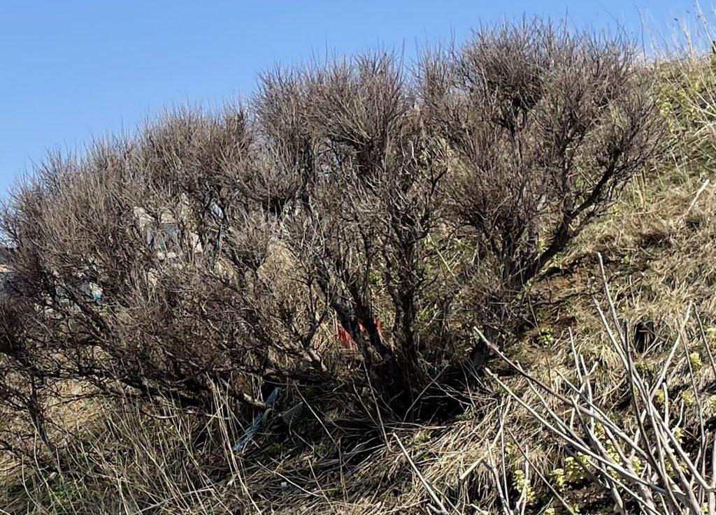 強風の影響で木の高さ(樹高)が低く、木の曲がりやねじれも大きいのが特徴です。