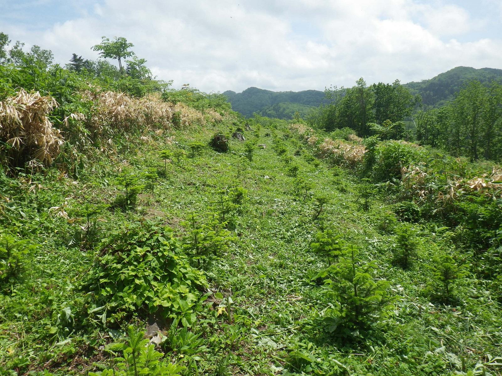 下刈りとは、苗木を守るために雑草を刈り取る草刈り作業のことです。