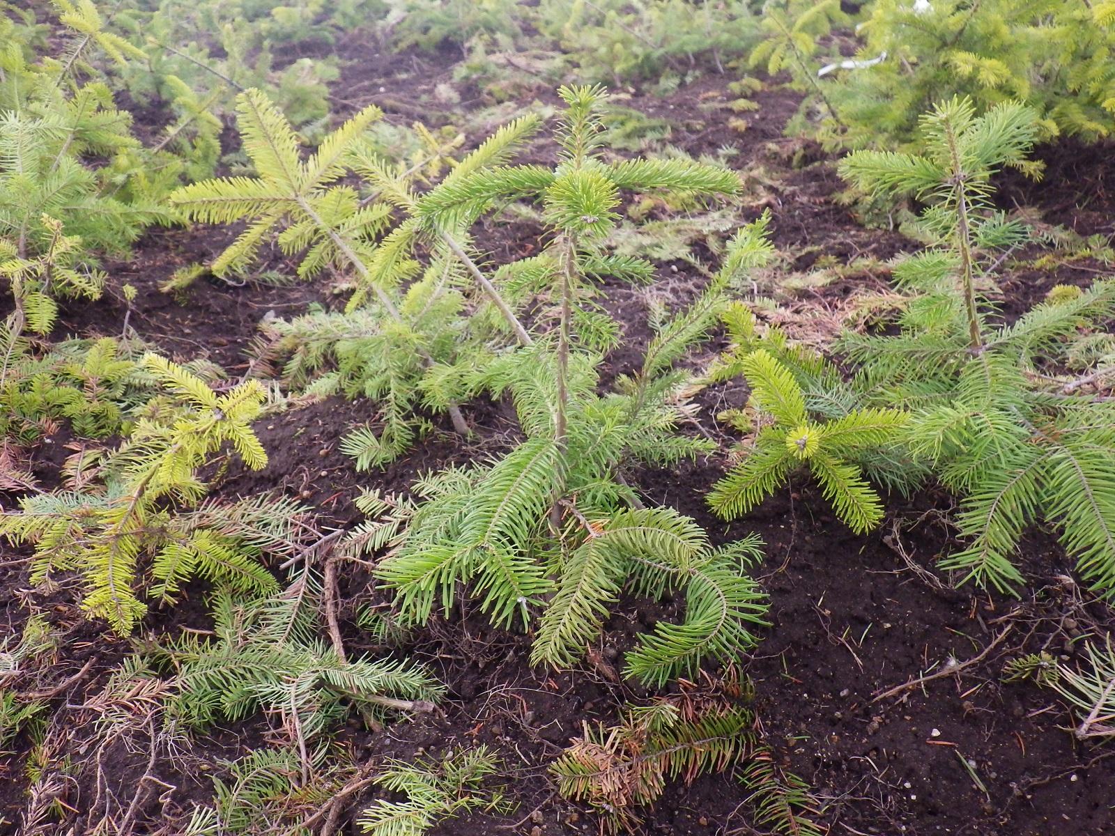 北海道はトドマツやカラマツ、エゾマツなどをヘクタール約2000本植えます。