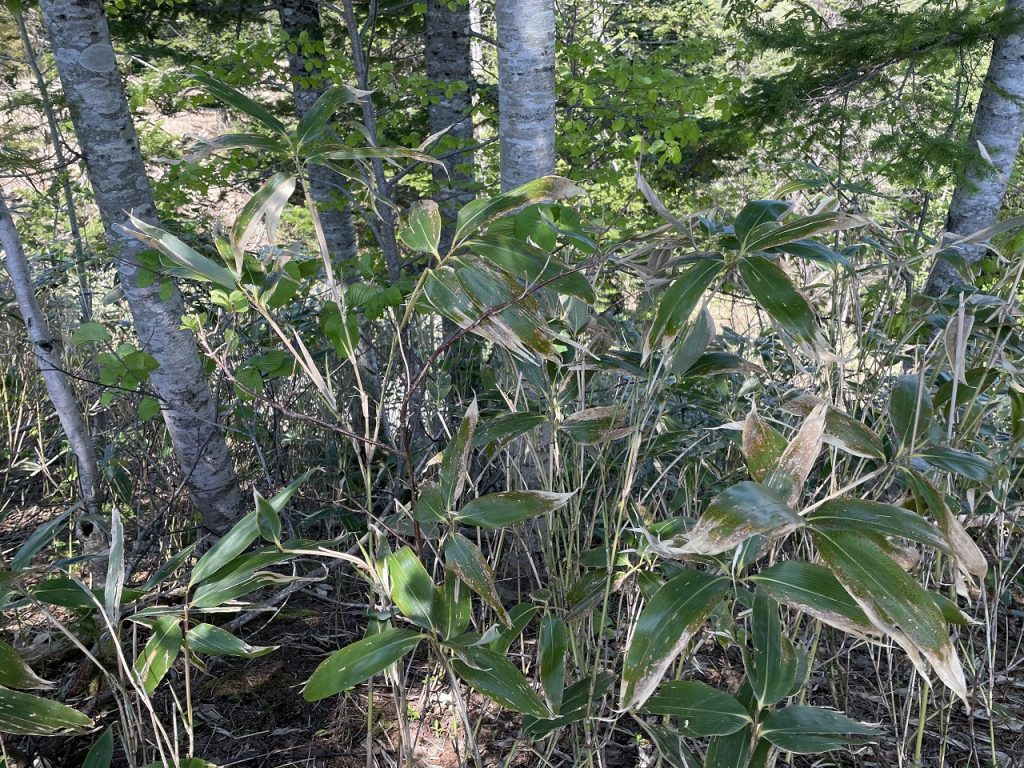 留萌地方の笹は高さ2mにも達するクマイザサやチシマザサ